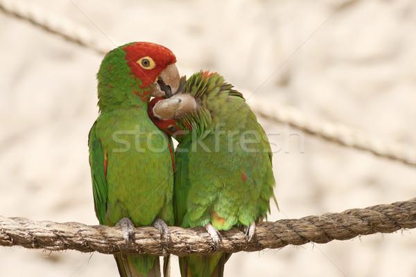 Całując papugi liny posiedzenia budynku ptaków Zdjęcia stock © jirivondrous