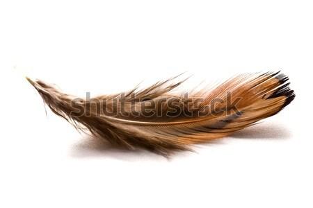 brown feather Stock photo © jirkaejc