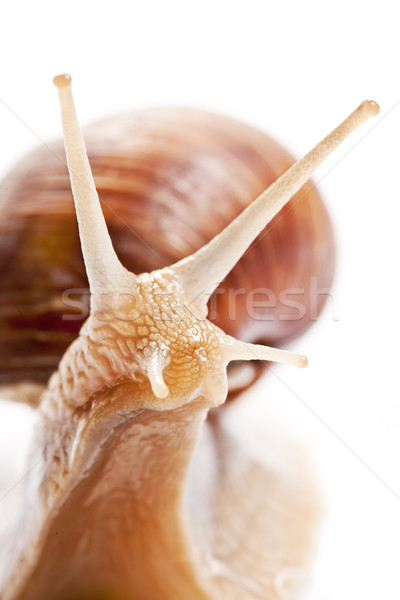 the garden snail Stock photo © jirkaejc