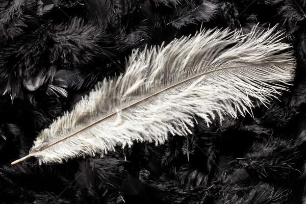 Blanche autruche plumes noir beauté espace Photo stock © jirkaejc