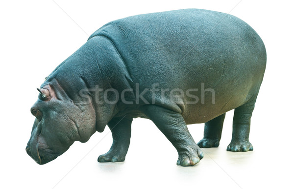 カバ 孤立した 白 口 脂肪 動物 ストックフォト © jirkaejc