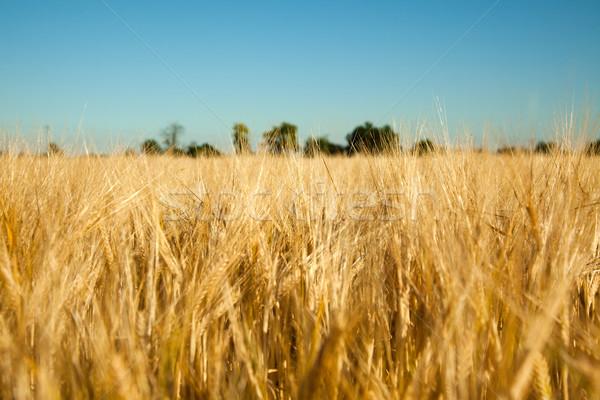 トウモロコシ畑 写真 ショット 食品 自然 小麦 ストックフォト © jirkaejc