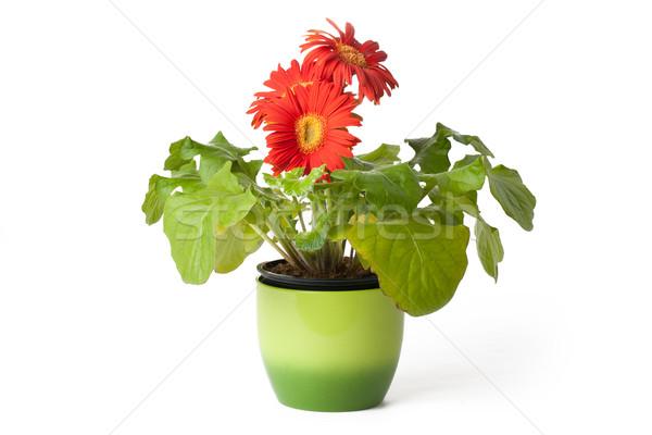 gerbera daisy in  flowerpot Stock photo © jirkaejc