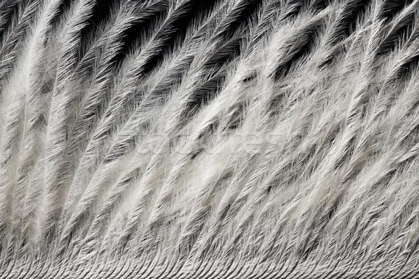 詳細 白 ダチョウ 羽毛 クローズアップ テクスチャ ストックフォト © jirkaejc