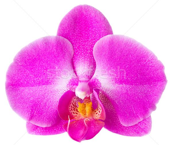 Flor rosa orquídeas blanco flor primavera naturaleza Foto stock © jirkaejc