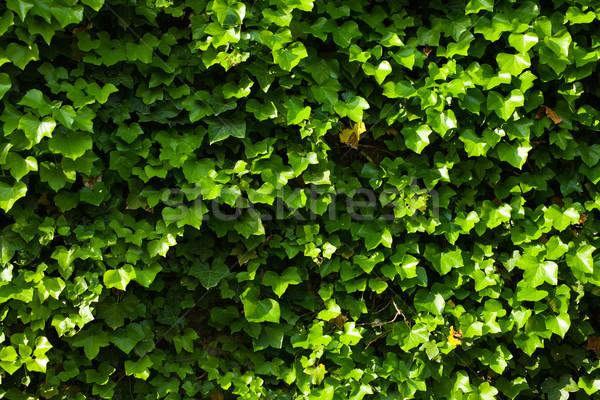 緑 ツタ 壁 葉 庭園 工場 ストックフォト © jirkaejc
