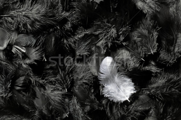 white and black feathers Stock photo © jirkaejc