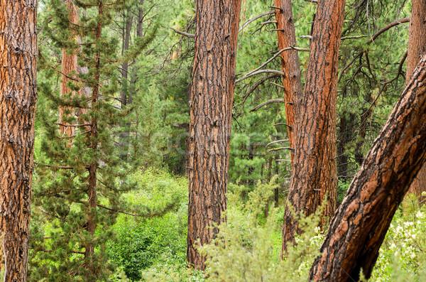 Orman görmek çam ağaçlar kombinasyon Stok fotoğraf © jkraft5