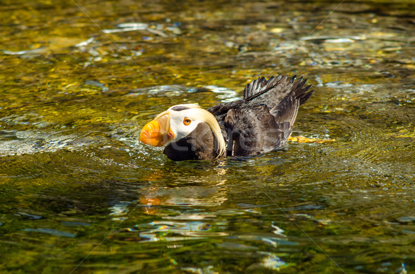 Puffin in Water Stock photo © jkraft5