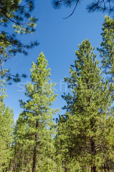 Sosny drzew wyschnięcia klimat centralny Oregon Zdjęcia stock © jkraft5