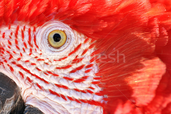 Closeup of a Scarlet Macaw Stock photo © jkraft5