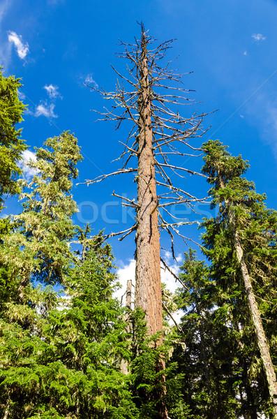 Dead Pine Tree Stock photo © jkraft5