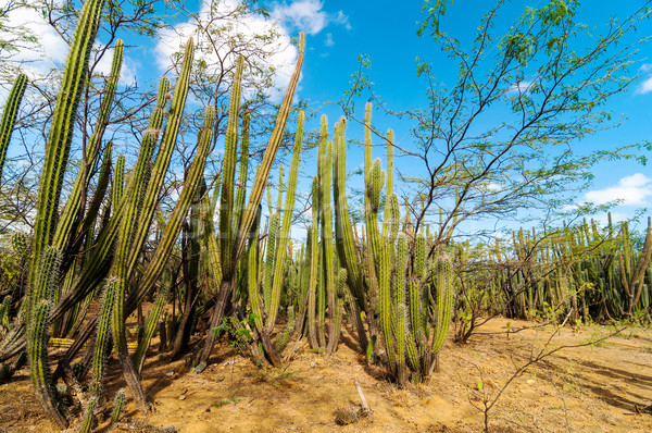 A Forest of Cactus Stock photo © jkraft5