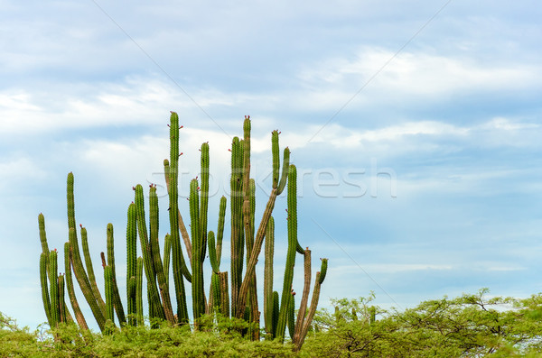 Cactus and Sky Stock photo © jkraft5