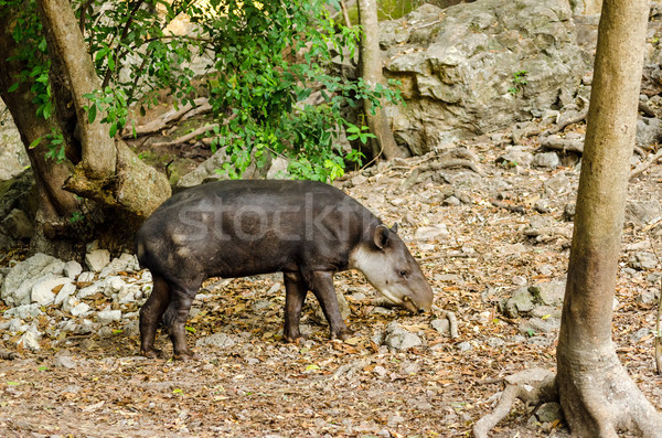 Tapir Stock photo © jkraft5