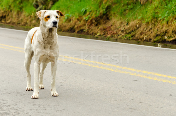 Evsiz köpek ayakta karayolu yol Stok fotoğraf © jkraft5