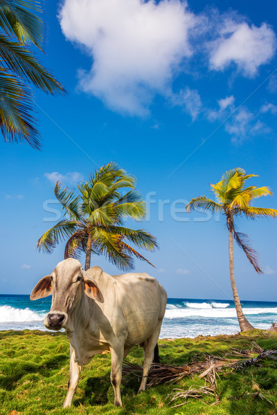 Zdjęcia stock: Plaży · krowy · palm · tropikalnych · Karaibów · lasu