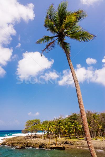 Stok fotoğraf: Hurma · ağacı · caribbean · sahil · orman · doğa