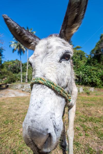 Donkey Closeup Stock photo © jkraft5