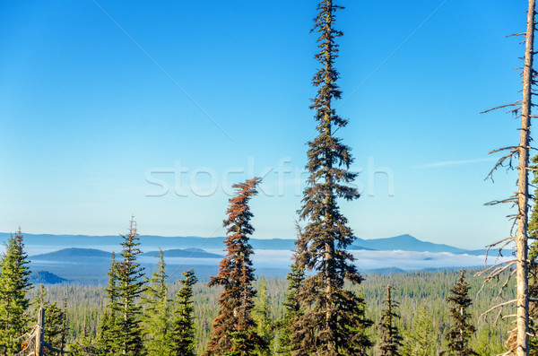 Tall Pine Trees and Hilly Background Stock photo © jkraft5