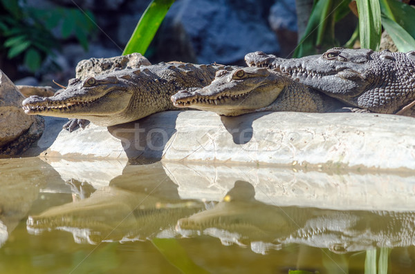 Crocodiles and Reflections Stock photo © jkraft5