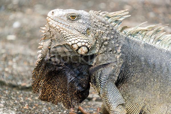 Groot leguaan Colombia huid Stockfoto © jkraft5