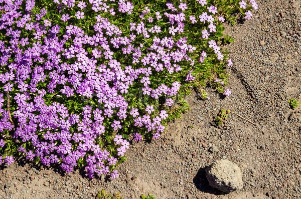 Fioletowy zielone kwiaty rozwój górskich charakter Zdjęcia stock © jkraft5