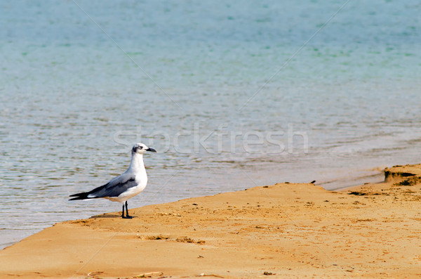 Stok fotoğraf: Kuş · plaj · beyaz · gri · manzara