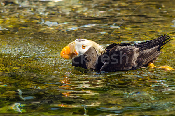 Swimming Tufted Puffin Stock photo © jkraft5