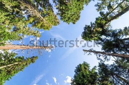 Wysoki sosny drzew niebo drewna Zdjęcia stock © jkraft5