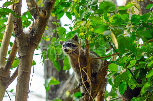 Wasbeer boom klimmen hoog omhoog gezicht Stockfoto © jkraft5