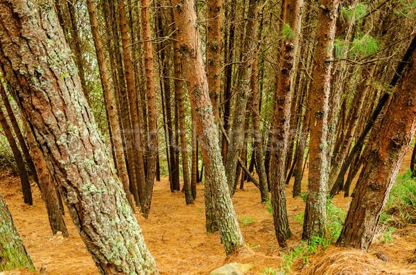 Stok fotoğraf: çam · ağacı · orman · zemin · kapalı · kuru
