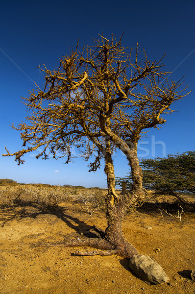 Twisted Tree Stock photo © jkraft5