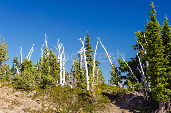 Grove of Trees Stock photo © jkraft5