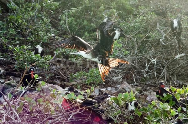 Pływające morza ptaków Karaibów Kolumbia Zdjęcia stock © jkraft5