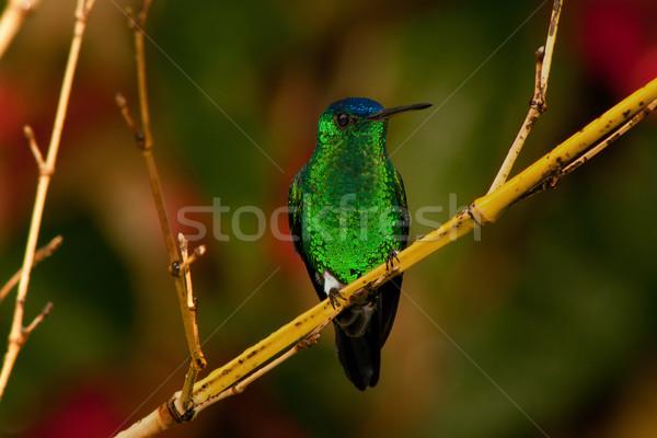 красочный hummingbird филиала зеленый синий сидят Сток-фото © jkraft5