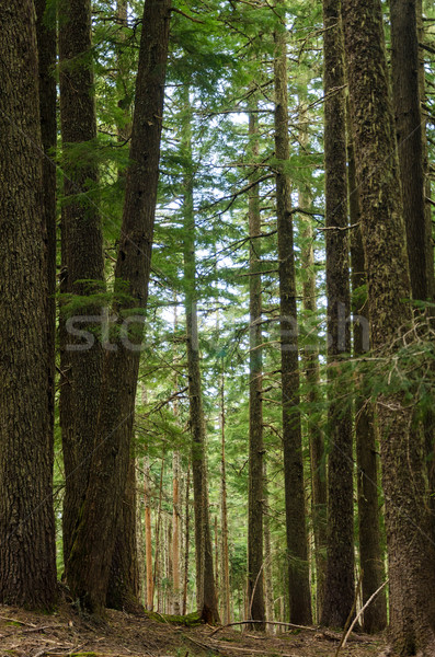 Oregon Forest Stock photo © jkraft5