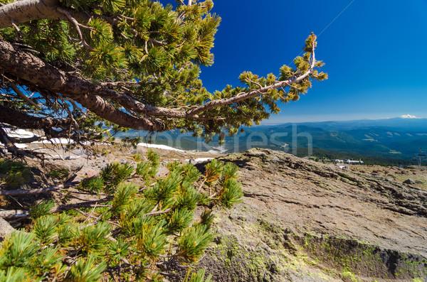 çam ağacı ufuk düşük rüzgâr görmek Stok fotoğraf © jkraft5