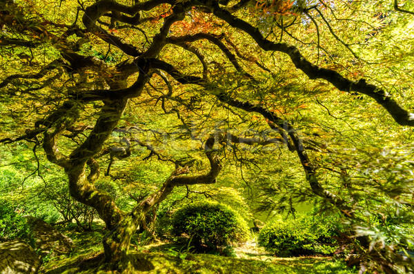 Japanese Maple Tree Stock photo © jkraft5