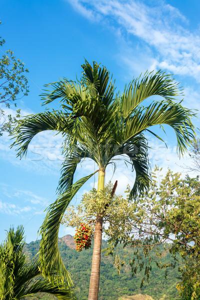Palma czerwony zielone owoców krajobraz relaks Zdjęcia stock © jkraft5