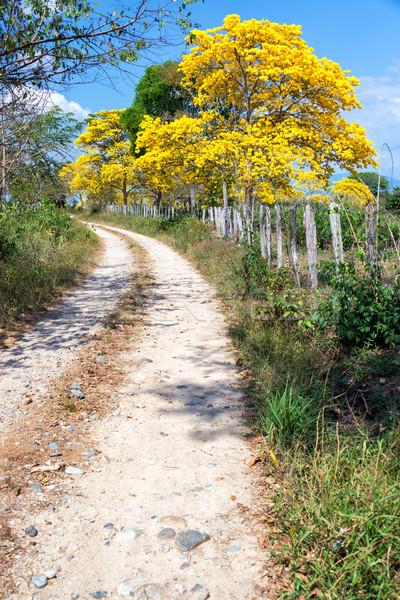 Drzewo żółty polnej Święty mikołaj drogowego drzew Zdjęcia stock © jkraft5