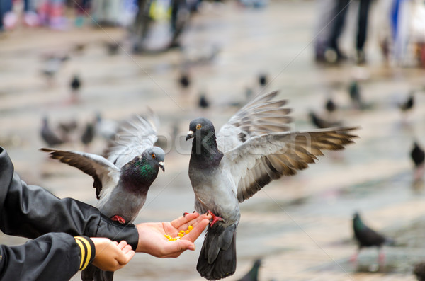 Hand Fed Pigeons Stock photo © jkraft5