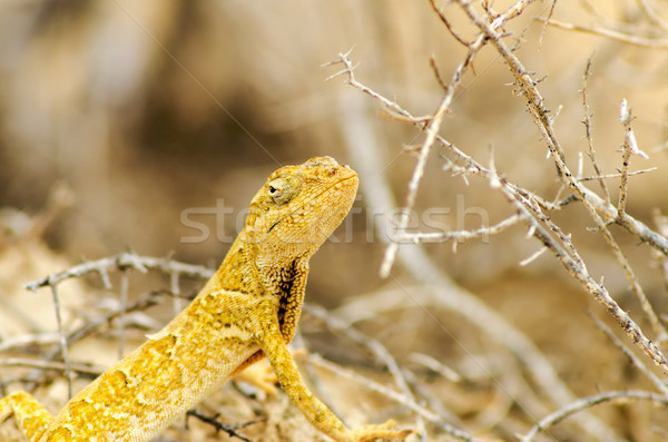 Jaune lézard vue faible la Photo stock © jkraft5