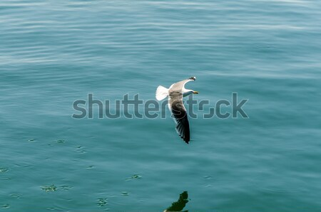 Repülés sirály kilátás tenger óceán kék Stock fotó © jkraft5