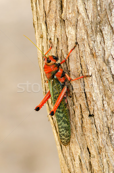 Konik polny czerwony zielone la Zdjęcia stock © jkraft5