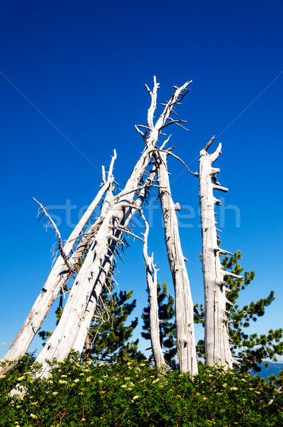 Grove of Dead Trees Stock photo © jkraft5