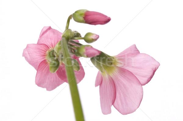 pink flower Stock photo © joannawnuk