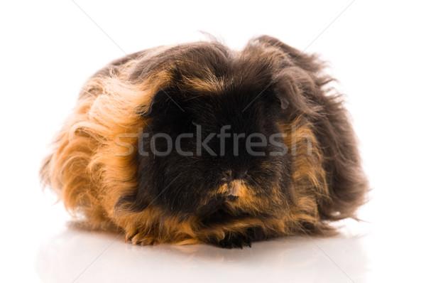 морская свинка изолированный белый черный жизни молодые Сток-фото © joannawnuk