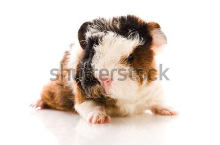 ストックフォト: 赤ちゃん · モルモット · 孤立した · 白 · 背景 · 豚