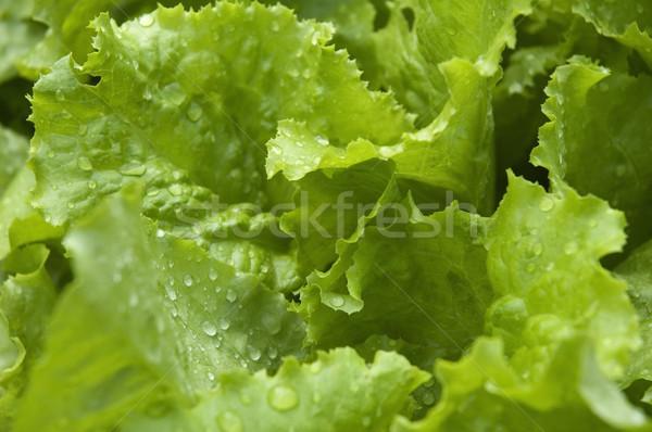 Creciente lechuga jardín lluvia verduras frescas primavera Foto stock © joannawnuk